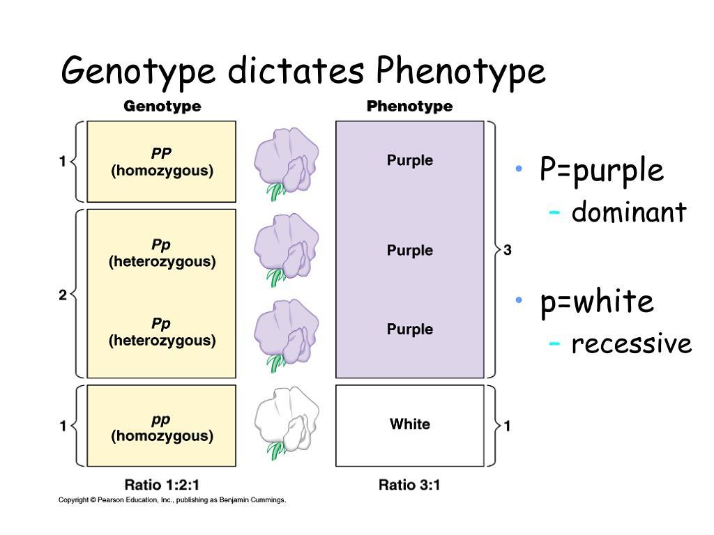 Genotype dictates Phenotype
