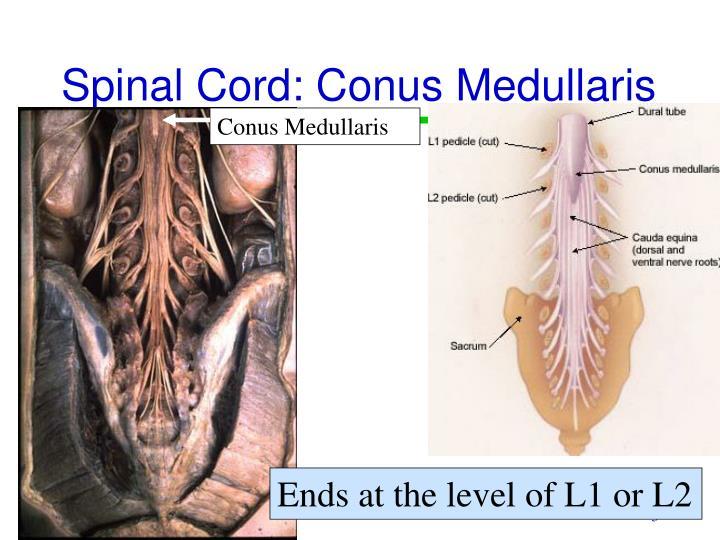 Spinal Cord: Conus Medullaris