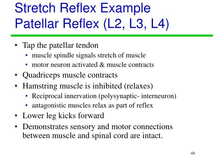 Stretch Reflex Example