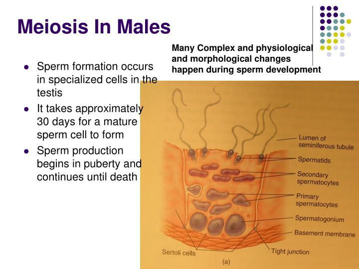 Meiosis In Males