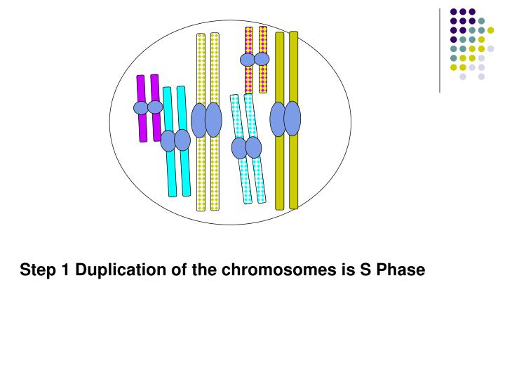 Step 1 Duplication of the chromosomes is S Phase