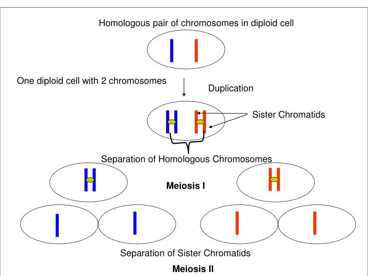 Homologous pair of chromosomes in diploid cell