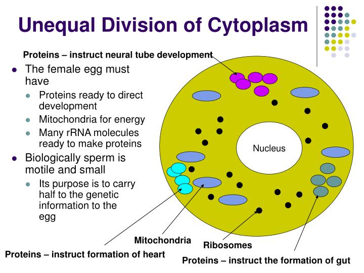 Unequal Division of Cytoplasm