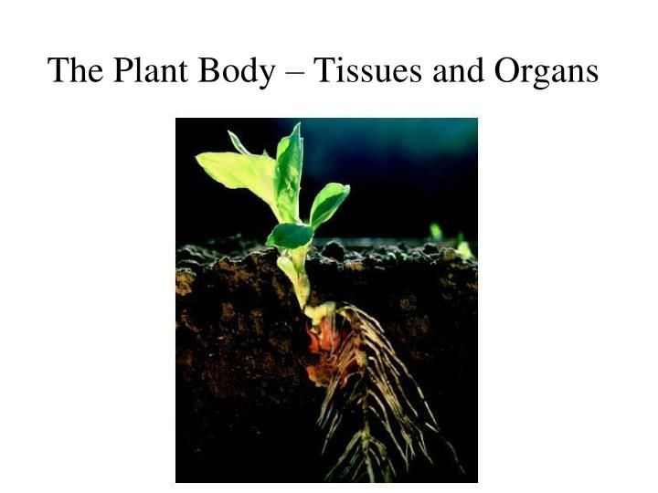 the plant body tissues and organs n.