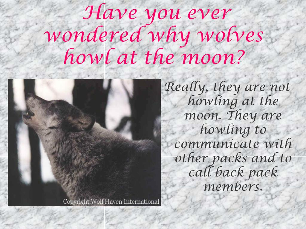 Have you ever wondered why wolves howl at the moon?