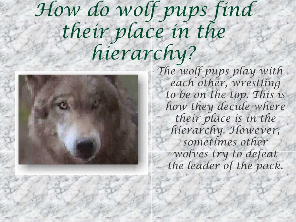 How do wolf pups find their place in the hierarchy?