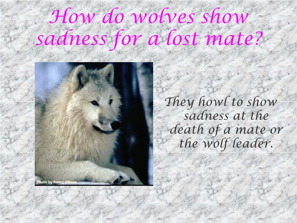 How do wolves show sadness for a lost mate?