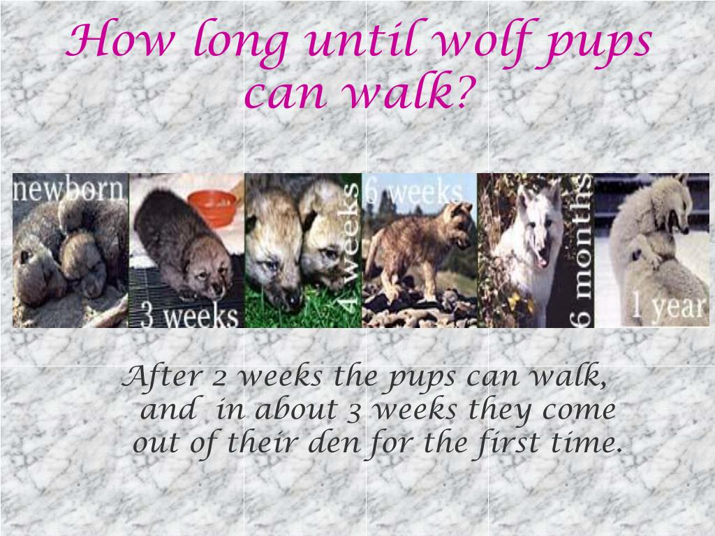 How long until wolf pups can walk?