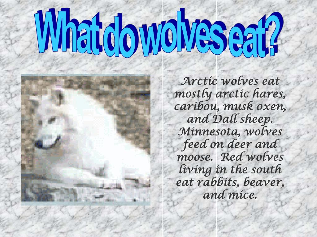 What do wolves eat?