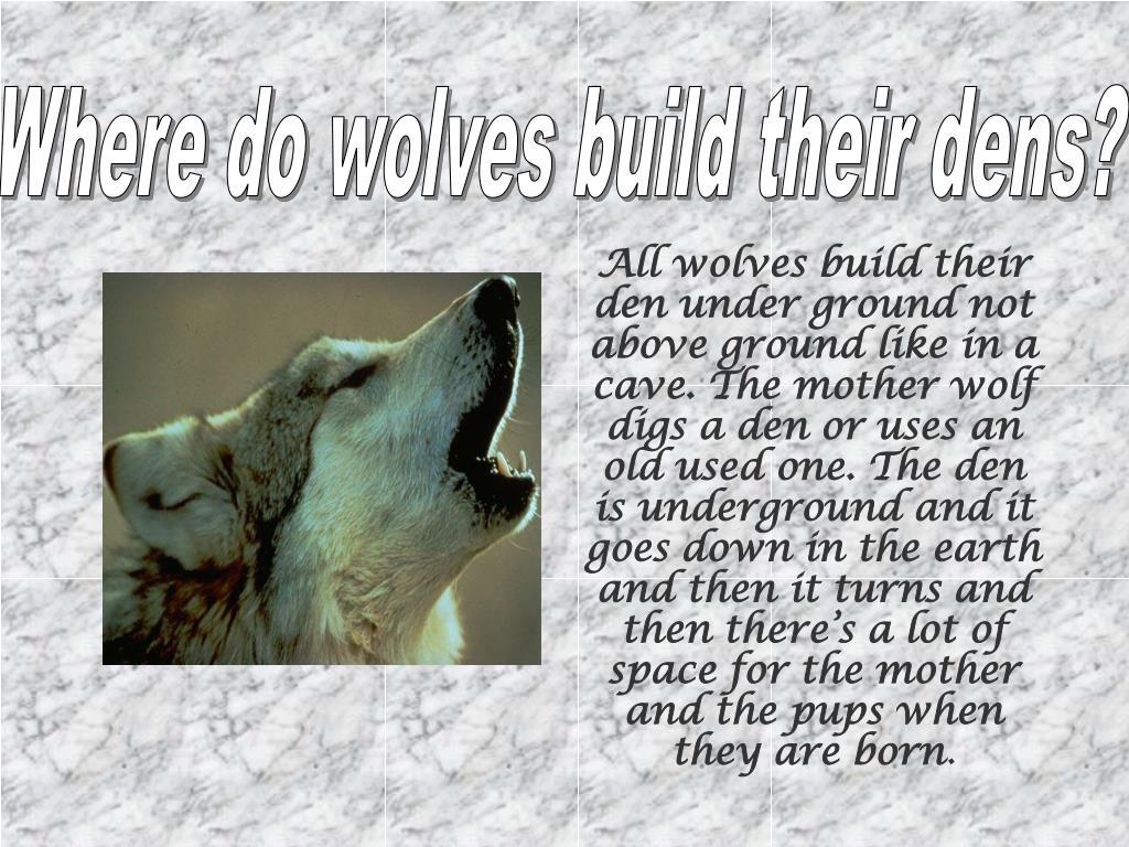 Where do wolves build their dens?