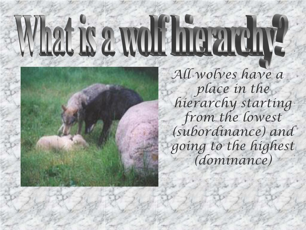 What is a wolf hierarchy?