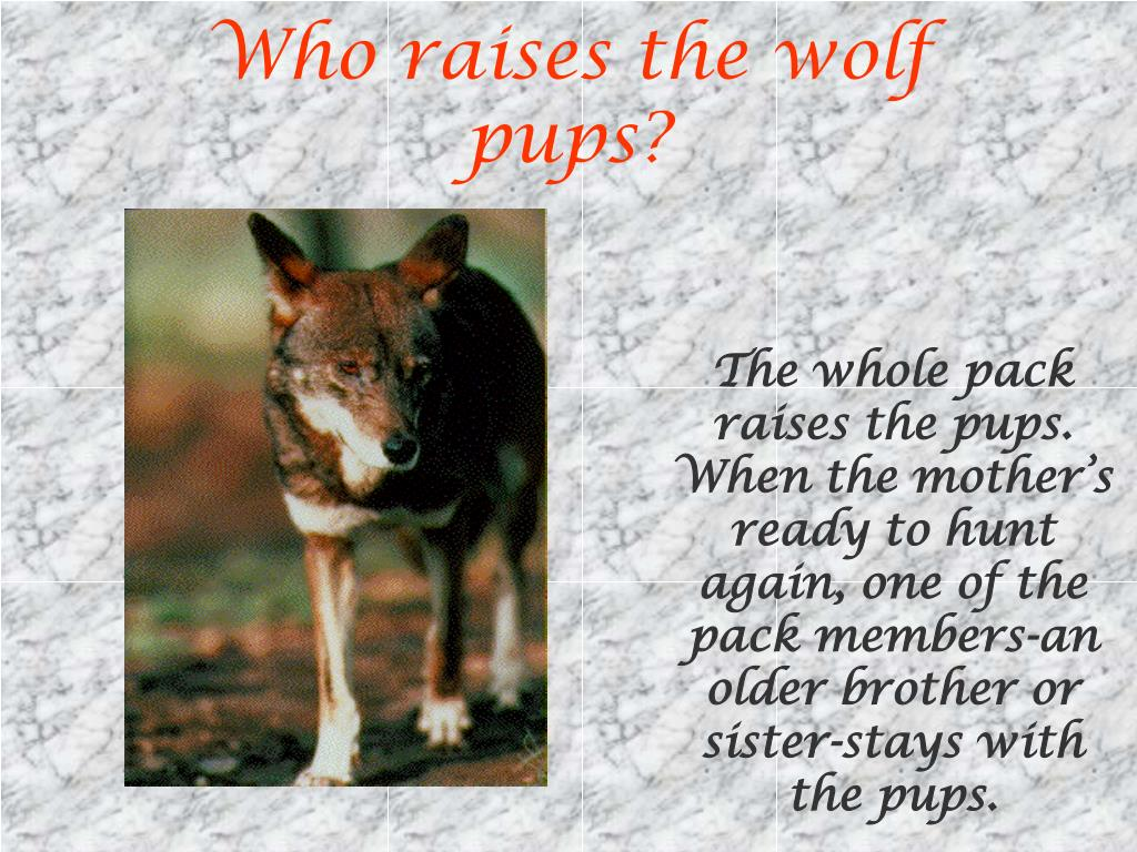 Who raises the wolf pups?
