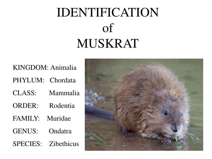 Identification of muskrat