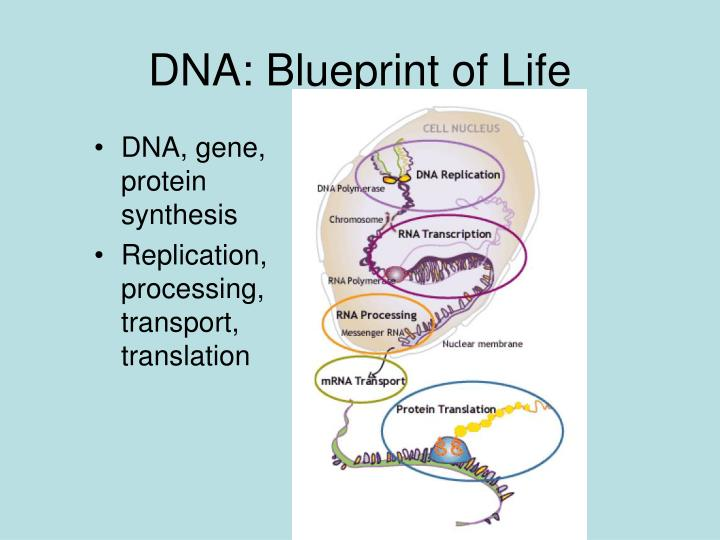 Ppt carbon nanotube and dnarna powerpoint presentation id377976 dna blueprint of life malvernweather