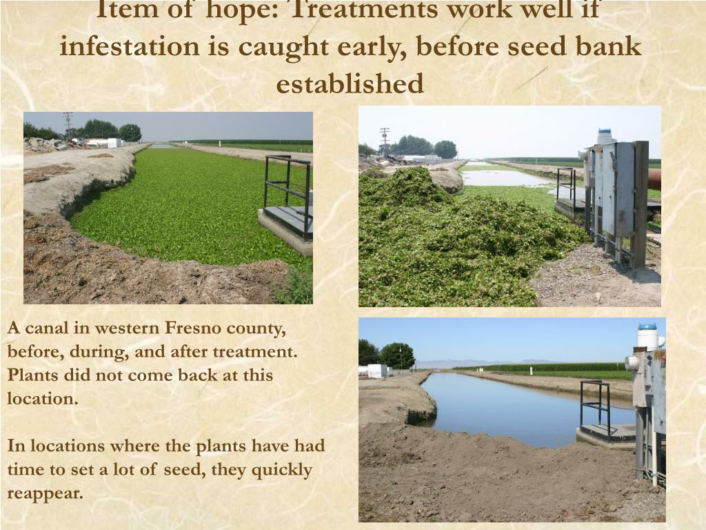 Item of hope: Treatments work well if infestation is caught early, before seed bank established
