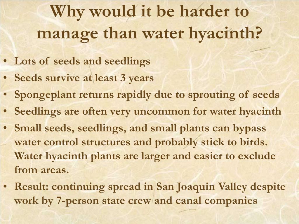 Why would it be harder to manage than water hyacinth?