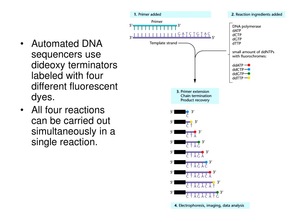 Automated DNA sequencers use dideoxy terminators labeled with four different fluorescent dyes.