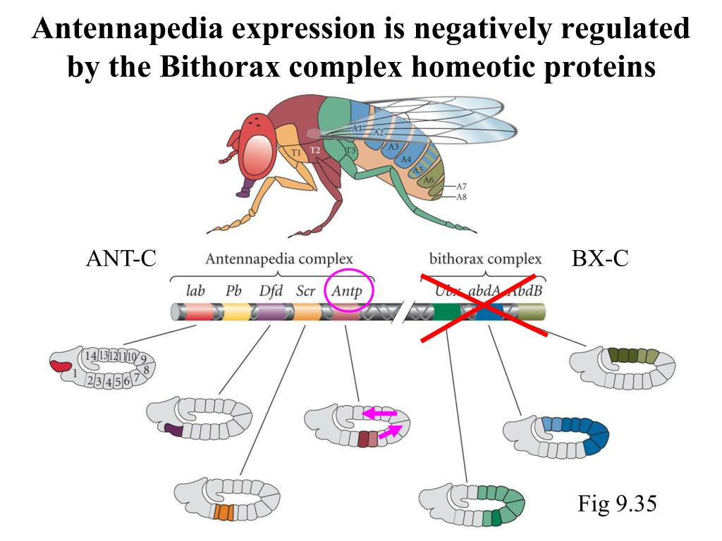 Antennapedia expression is negatively regulated by the Bithorax complex homeotic proteins