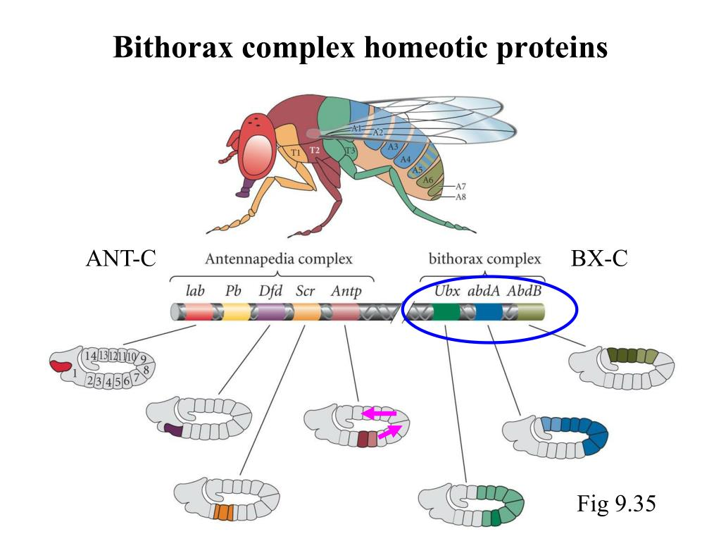 Bithorax complex homeotic proteins