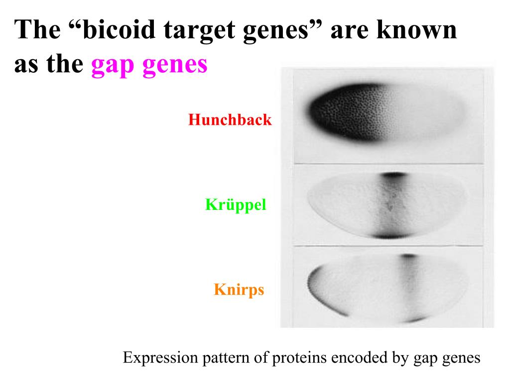 "The ""bicoid target genes"" are known as the"