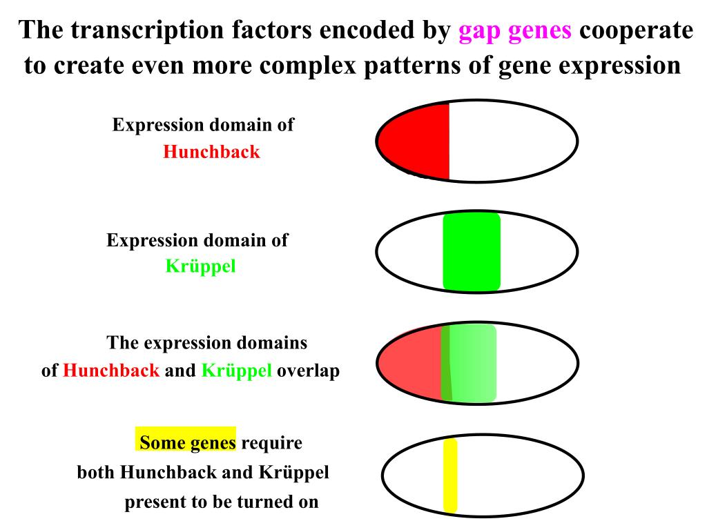 The transcription factors encoded by
