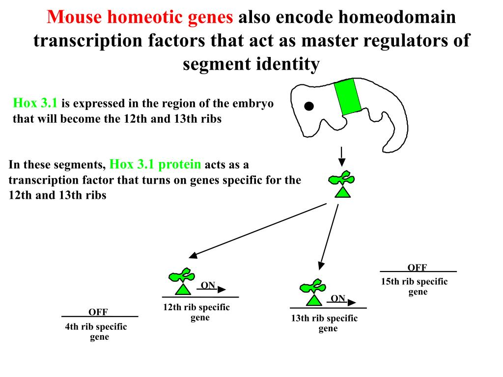 Mouse homeotic genes