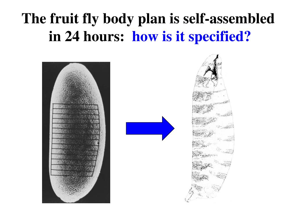The fruit fly body plan is self-assembled