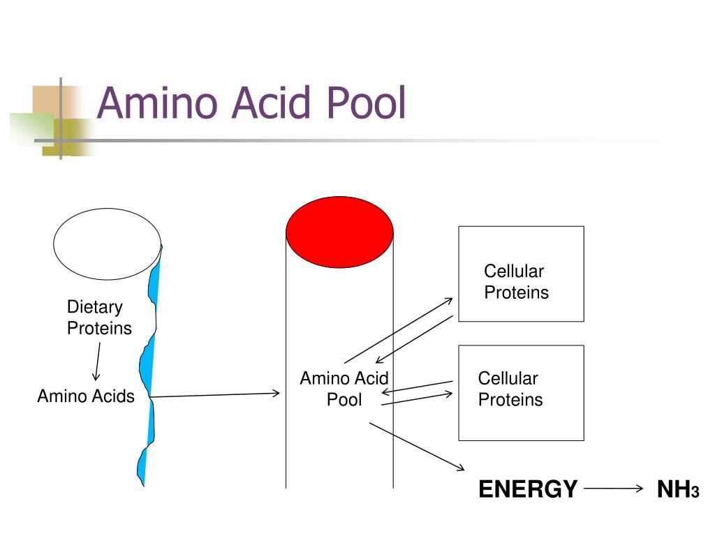 Amino Acid Pool