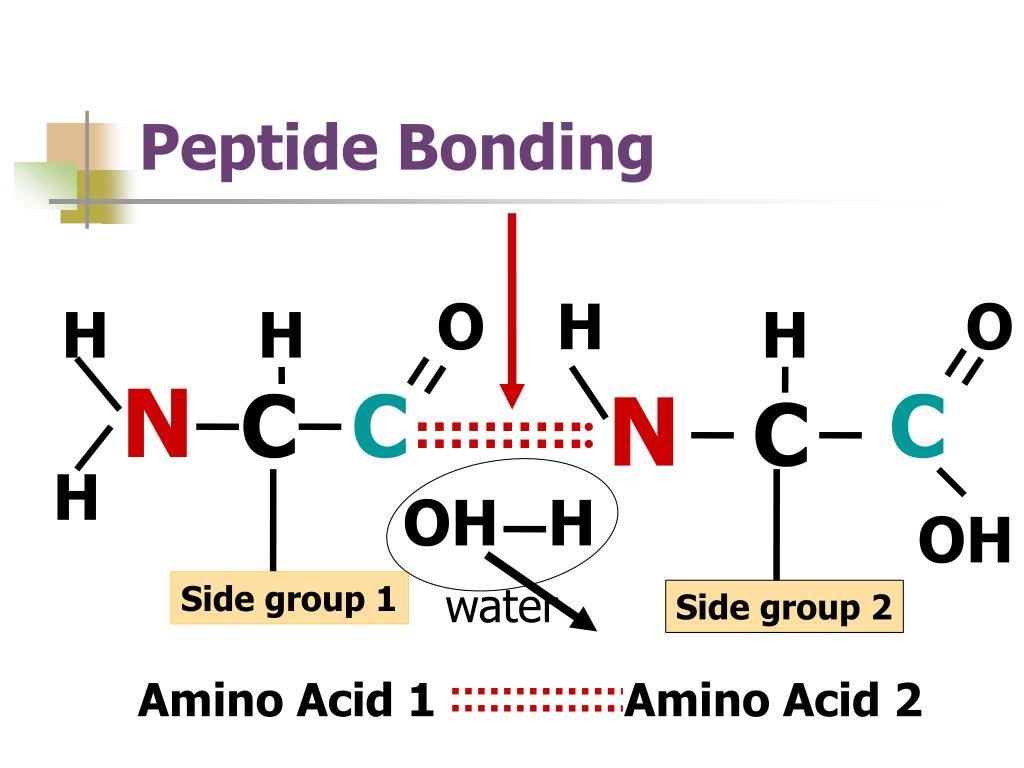 Peptide Bonding