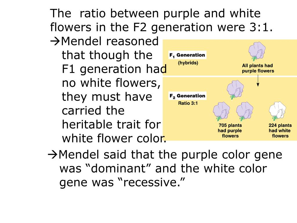 The  ratio between purple and white