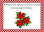 red poinsettias add a touch of color to some homes during the holidays