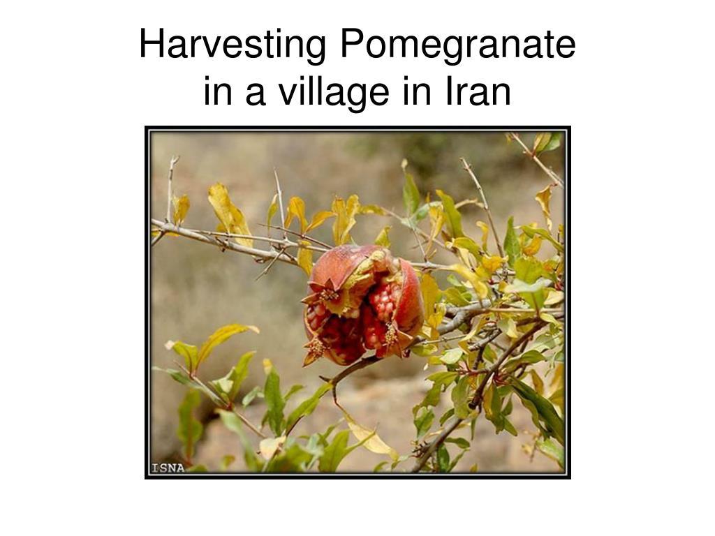 harvesting pomegranate in a village in iran l.
