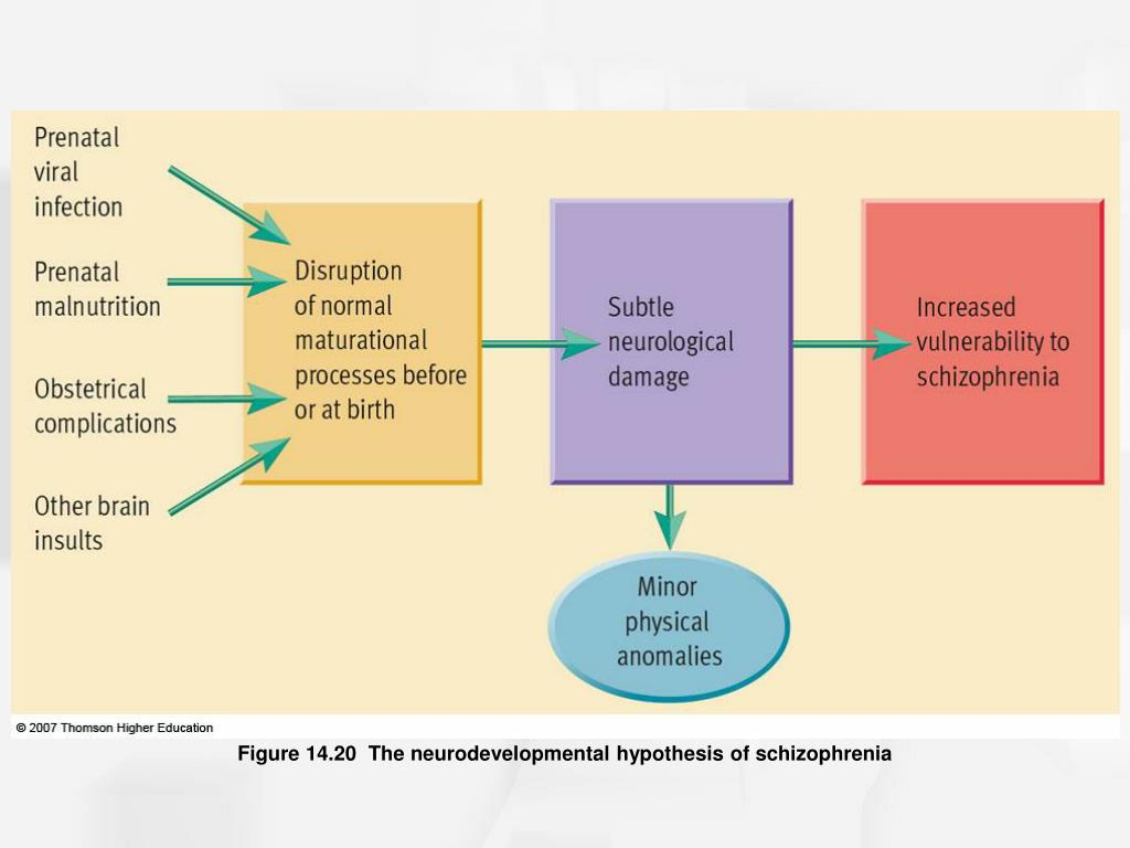 Figure 14.20  The neurodevelopmental hypothesis of schizophrenia