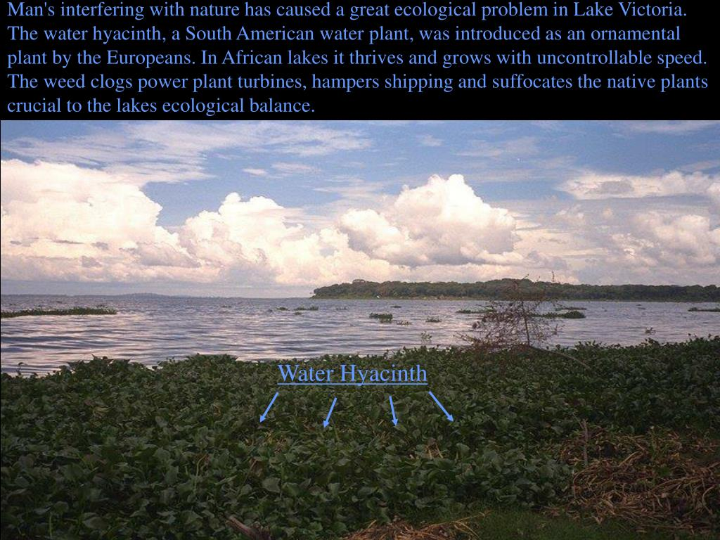 Man's interfering with nature has caused a great ecological problem in Lake Victoria.