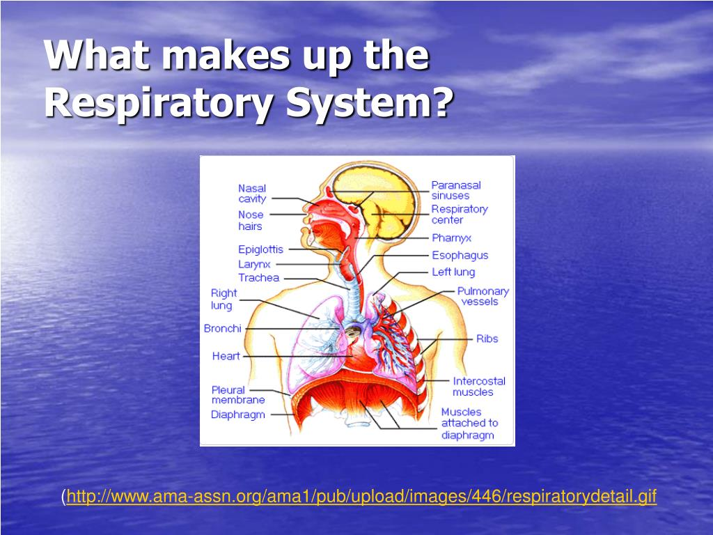 What makes up the Respiratory System?