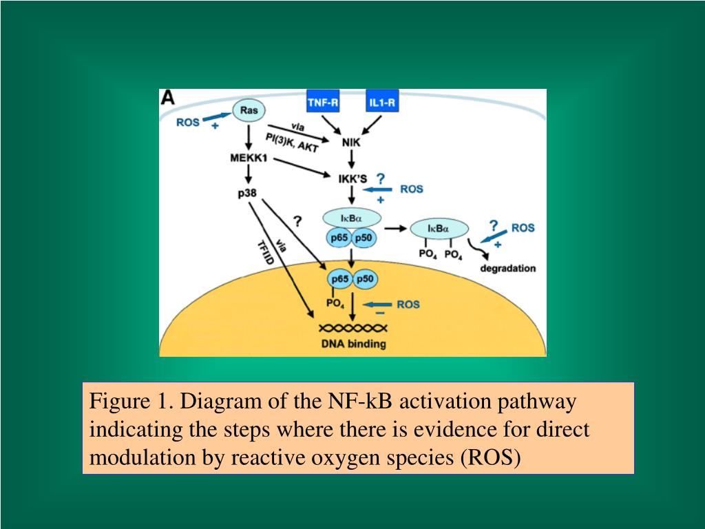 Figure 1. Diagram of the NF-kB activation pathway indicating the steps where there is evidence for direct modulation by reactive oxygen species (ROS)
