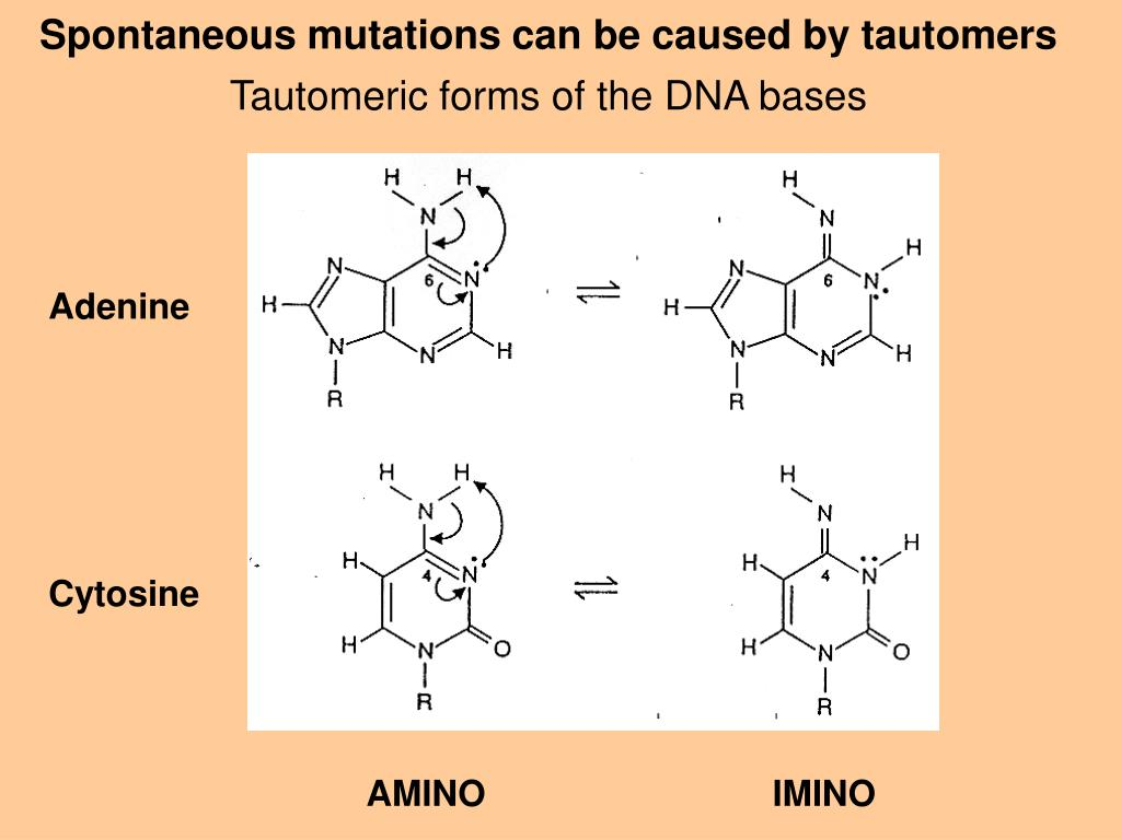 Spontaneous mutations can be caused by tautomers