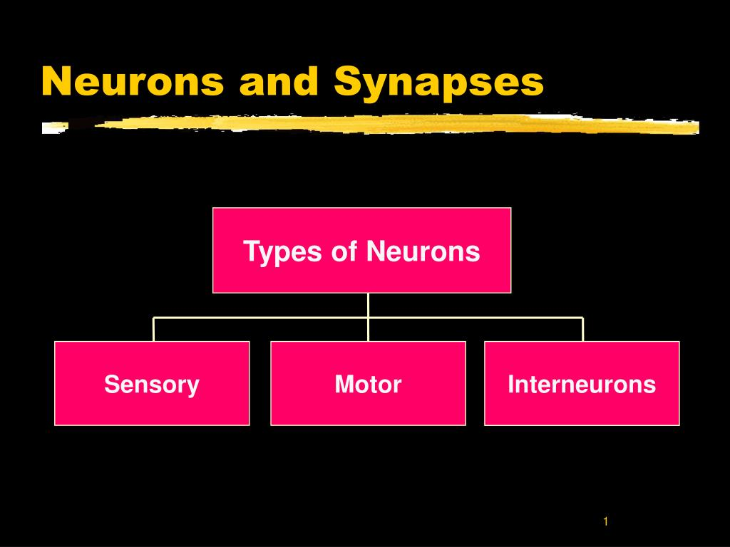neurons and synapses l.