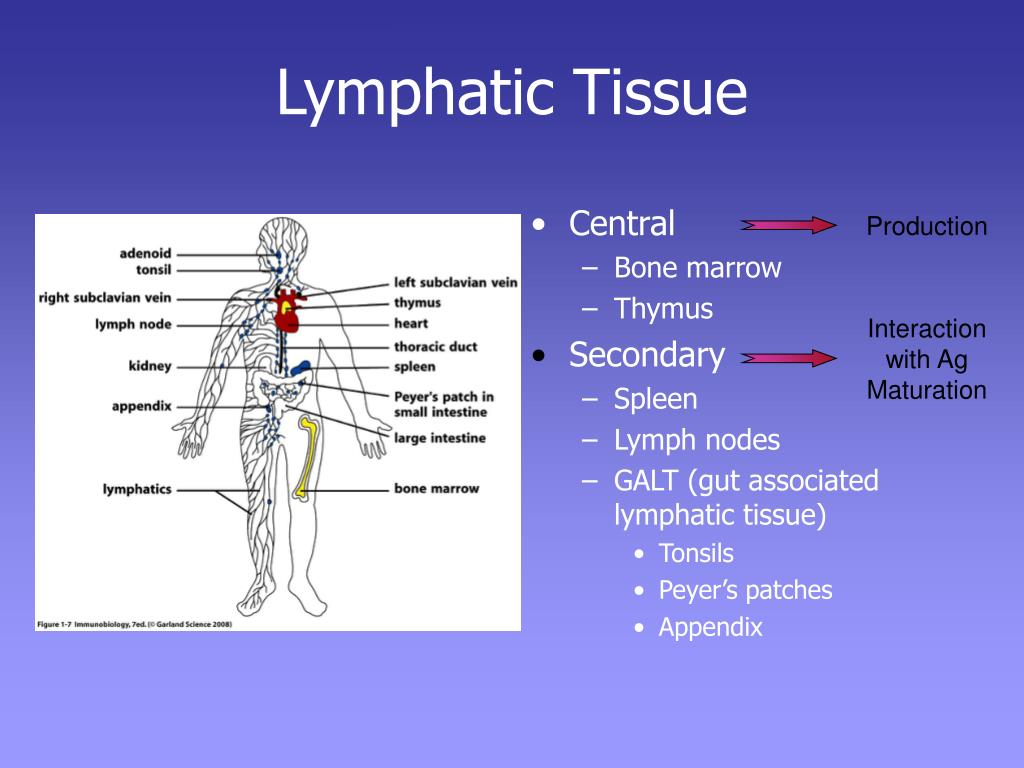 Lymphatic Tissue