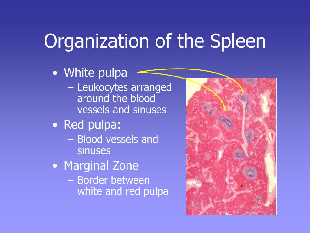 Organization of the Spleen
