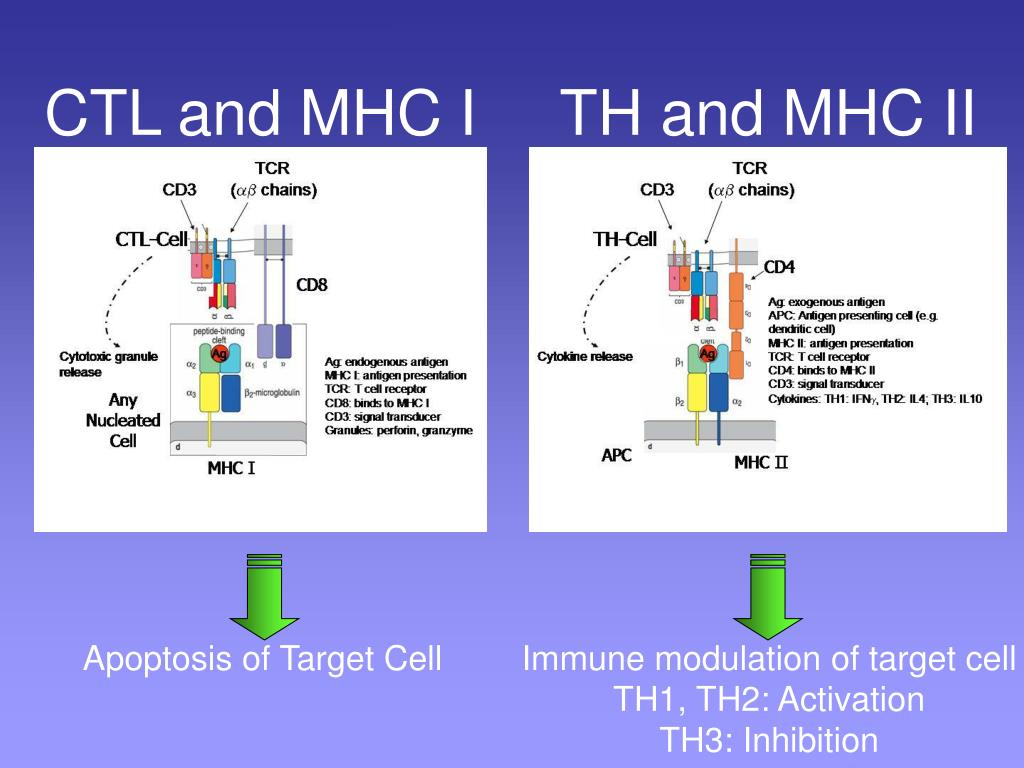 CTL and MHC I