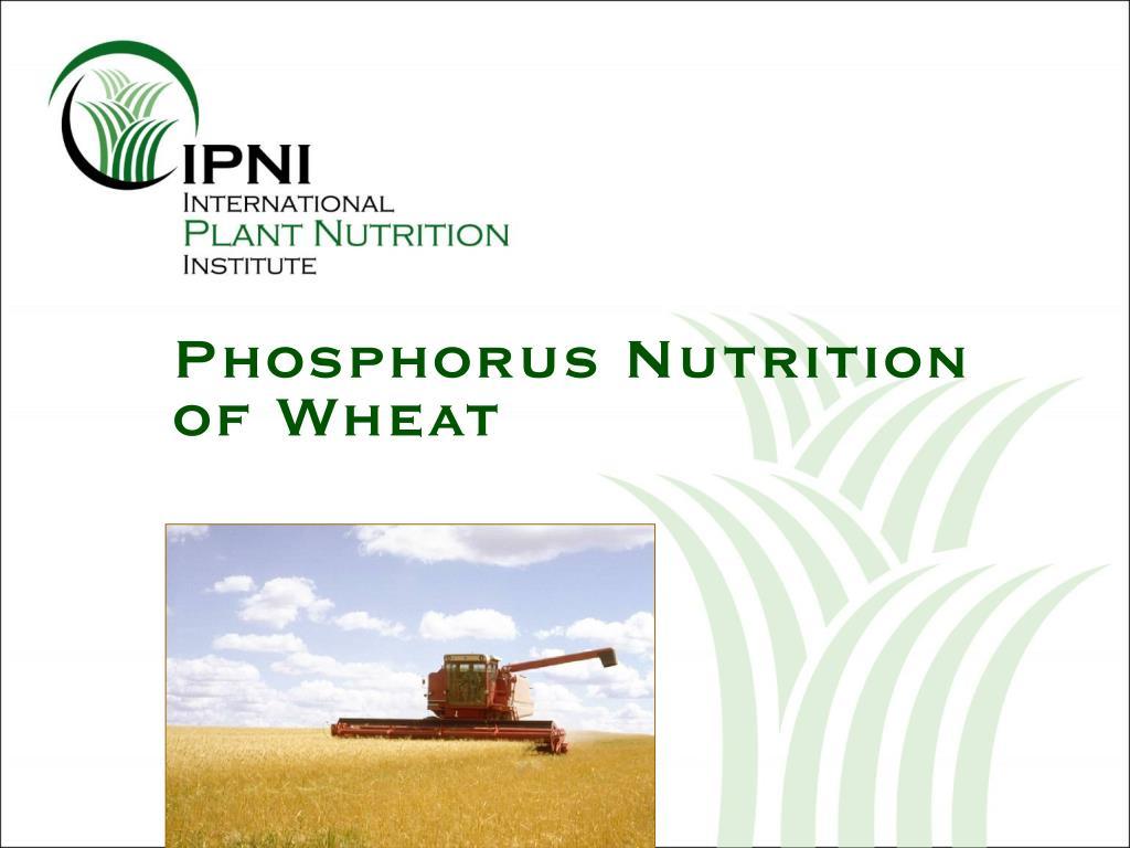 phosphorus nutrition of wheat l.