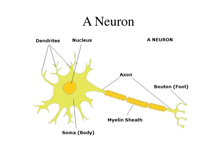 A neuron