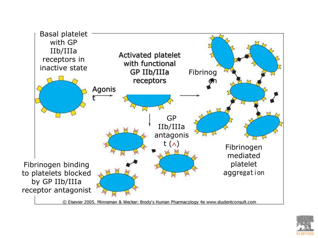 Basal platelet with GP IIb/IIIa receptors in inactive state
