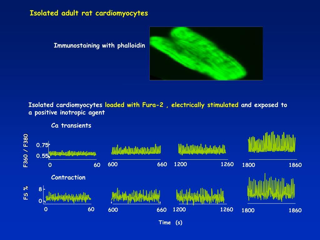 Isolated cardiomyocytes
