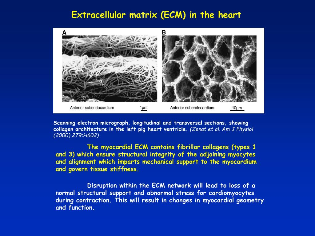 Extracellular matrix (ECM) in the heart