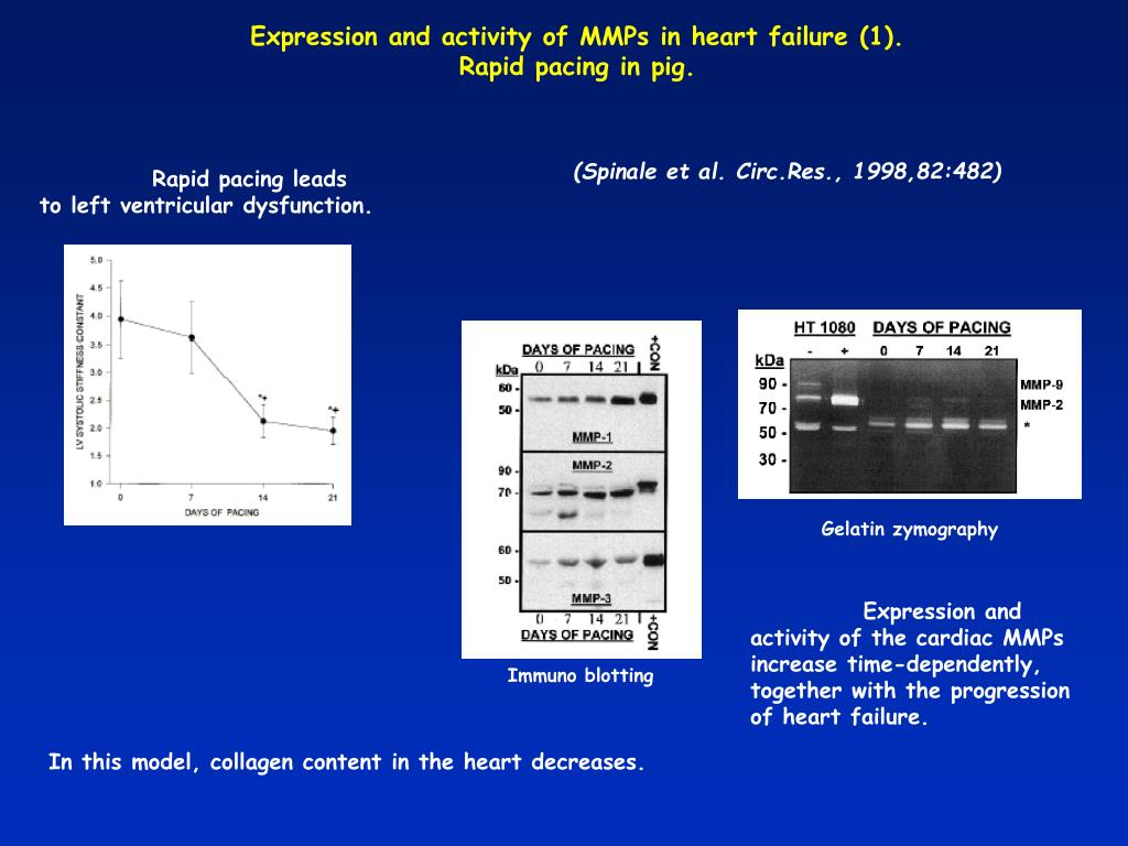 Rapid pacing leads to left ventricular dysfunction.