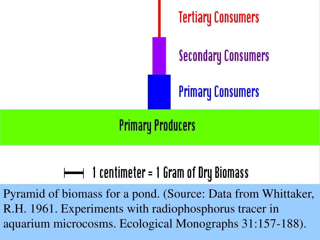 Pyramid of biomass for a pond. (Source: Data from Whittaker, R.H. 1961. Experiments with radiophosphorus tracer in aquarium microcosms. Ecological Monographs 31:157-188).