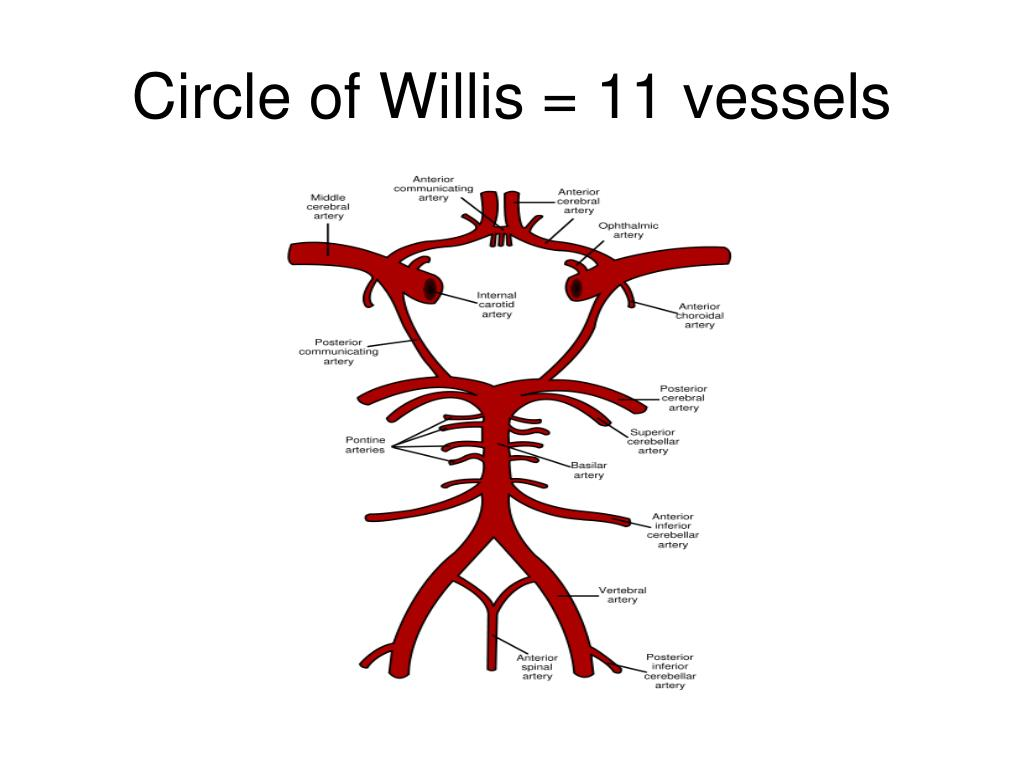 Circle of Willis = 11 vessels
