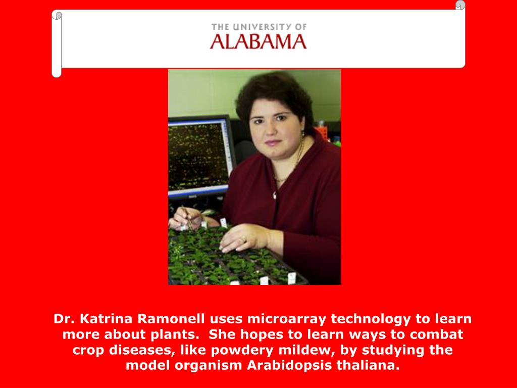 Dr. Katrina Ramonell uses microarray technology to learn more about plants.  She hopes to learn ways to combat crop diseases, like powdery mildew, by studying the model organism Arabidopsis thaliana.